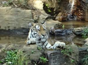 インド占星術 無料鑑定の感想 13  ユニコ    写真 トラの水浴び